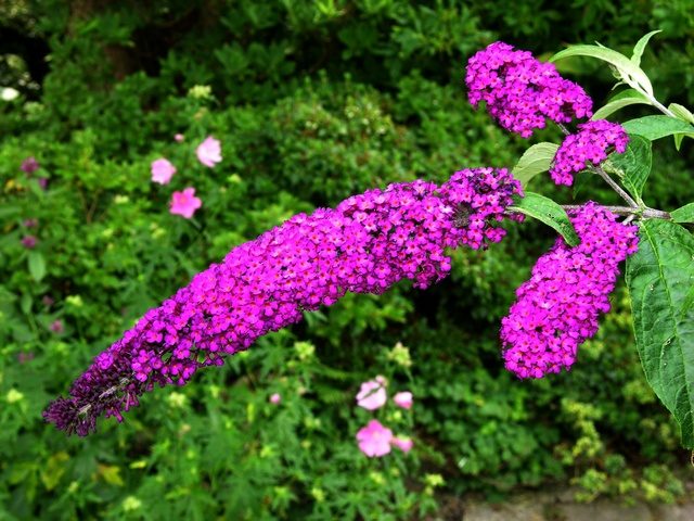 5 Inexpensive Ways to Landscape Your Yard-Buddleia